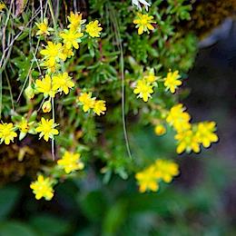 Lomikámen vždyzelený (Saxifraga aizoides)