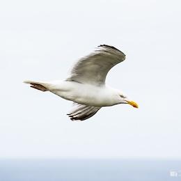 Racek stříbřitý / European herring gull / Larus argentatus)